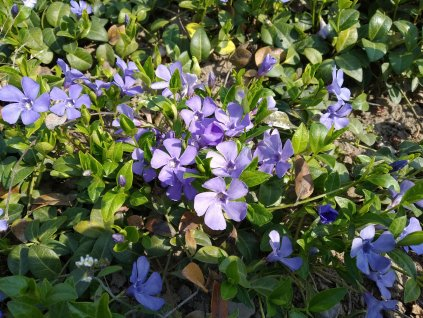 Barvínek modrý - Vinca minor