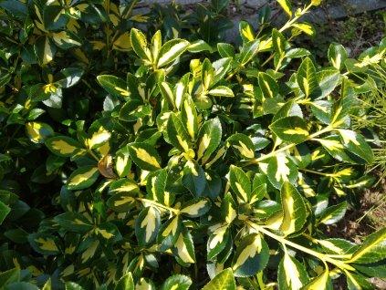 Brslen - Euonymus f. 'Sunspot'