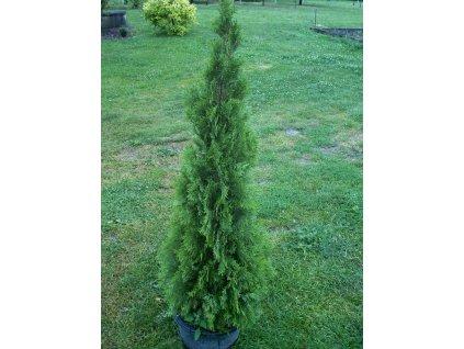 Thuja occidentalis Smaragd1