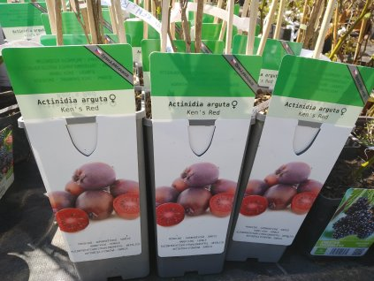 Kiwi - Actinidia arguta 'Ken's Red' - samice červenoplodá