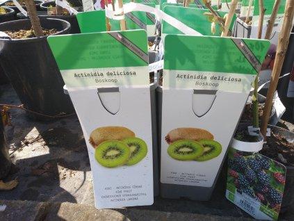 Kiwi - Actinidia deliciosa 'Boskoop' - velkoplodé