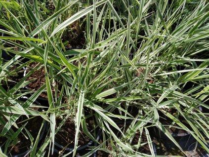 Chrastice - Phalaris arundinacea 'Picta'