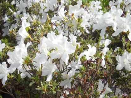 Azalka japonská - Azalea japonica 'Schneeglanz'