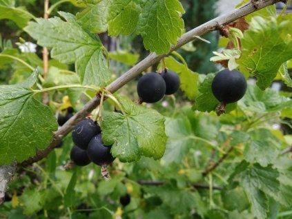 Josta - Ribes nidigrolaria - keř