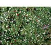 Skalník - Cotoneaster microphyllus 'Queen of Carpets'