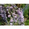 Motýlí keř - Buddleia alternifolia 1 l