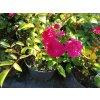 Růže pokryvná - Rosa 'Rote The Fairy'