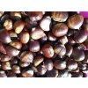 Kaštan jedlý - semenáč