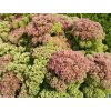 Rozchodník nádherný - Sedum spectabile růžové
