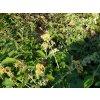 Motýlí keř - Buddleia weyeriana 'Sungold' 1 l