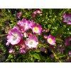 Růže pokryvná - Rosa 'Max Graf' 1 l