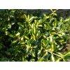 Brslen - Euonymus f. 'Sunspot' 1 l