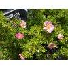 Mochna křovitá - Potentilla fruticosa růžová kompaktní