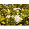 Svída žlutolistá - Cornus alba 'Aurea'