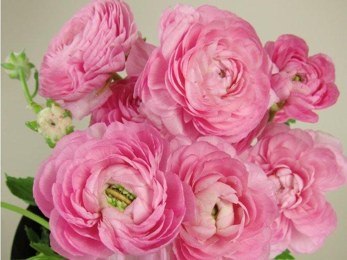 PRYSKYŘNÍK - Ranunculus Roze / pink
