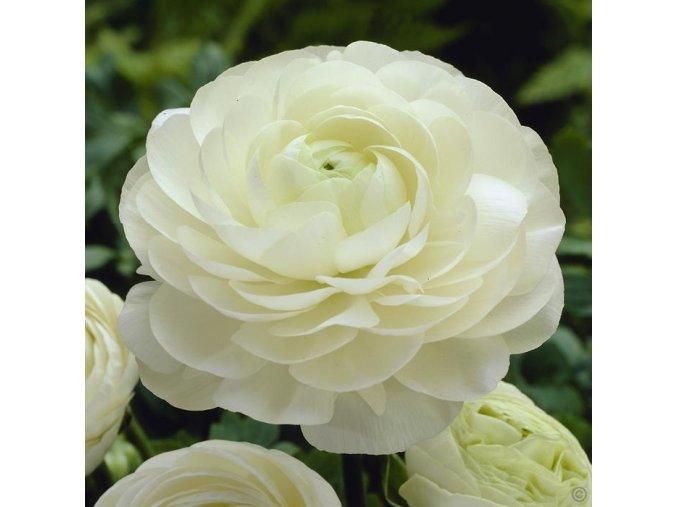PRYSKYŘNÍK - Ranunculus Wit / White