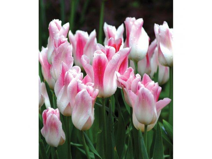 tulipan holland chic