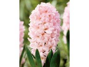 hyacinthus apricot passion 1 14