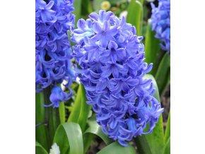 HYACINT - BLUE JACKET
