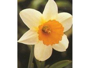 narcissus bílo oranžový