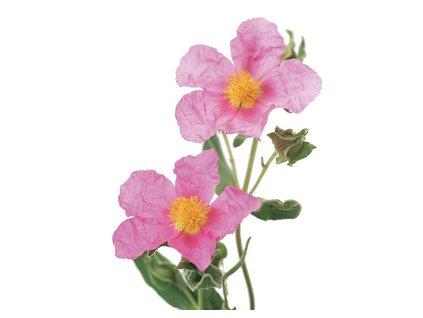 Antivirotické kapsle Skalní růže