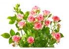 Pro růže