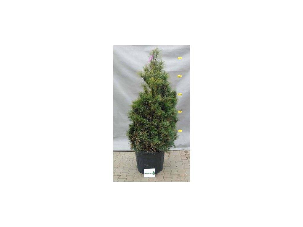 Pinus walichiana