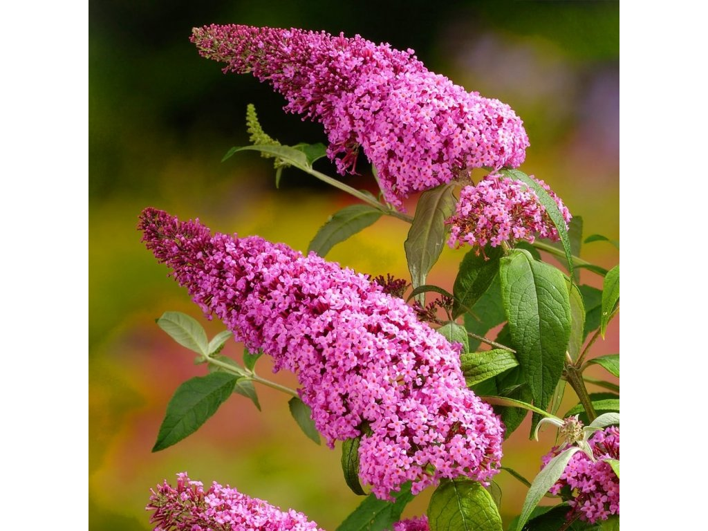 buddleia davidii pink delight shrub 9cm p238 28952 image