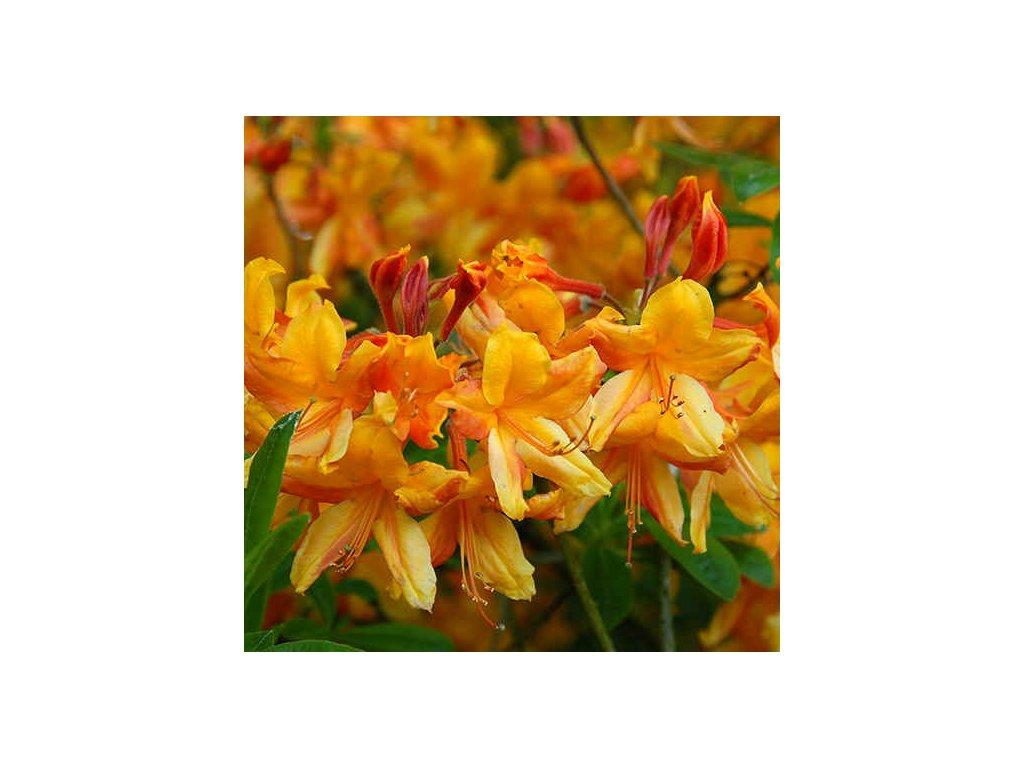 azalea goldlack