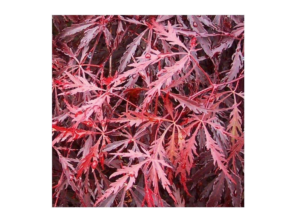 Acer palmatum 'Dissectum Garnet' (Javor dlanitolistý)
