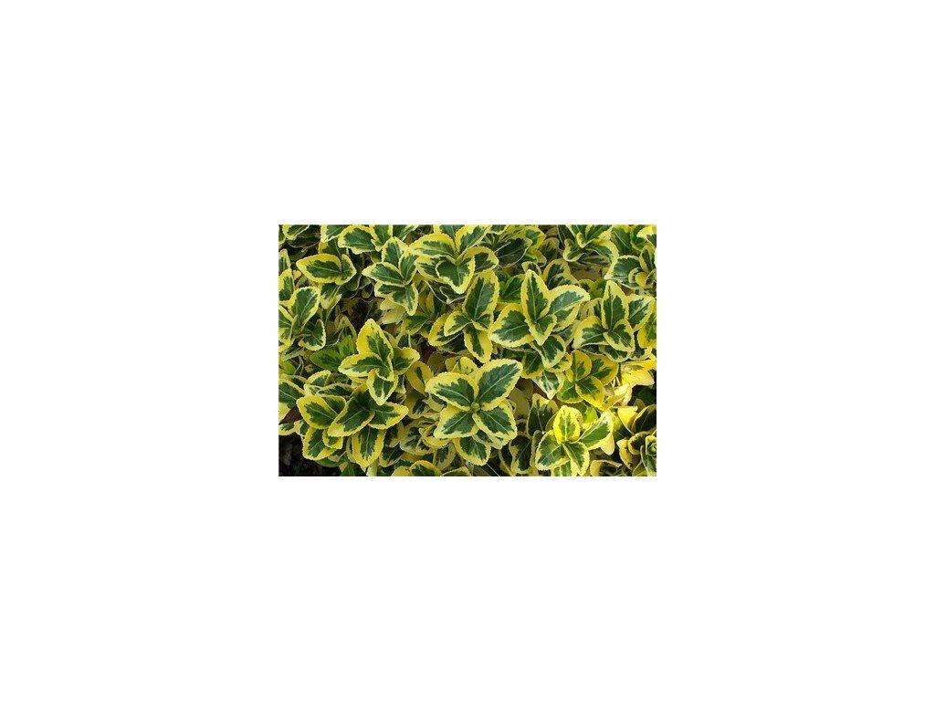 euonymus jap. aueromarginatus