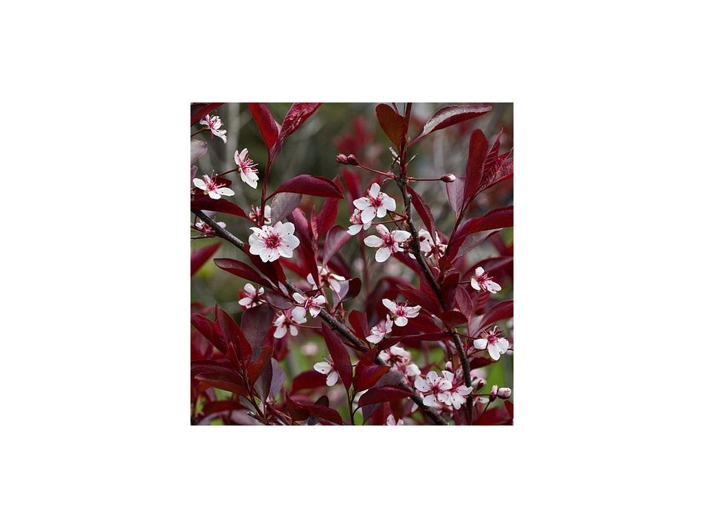 Prunus x cistena (Myrobalán cistena)