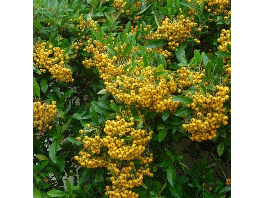 pyracantha soleil dor p37 2333 image