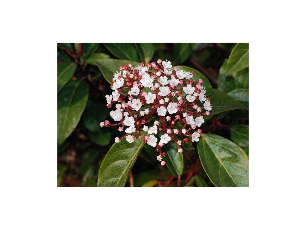 1506150401WFP 084 1 Viburnum tinus Gwenllian
