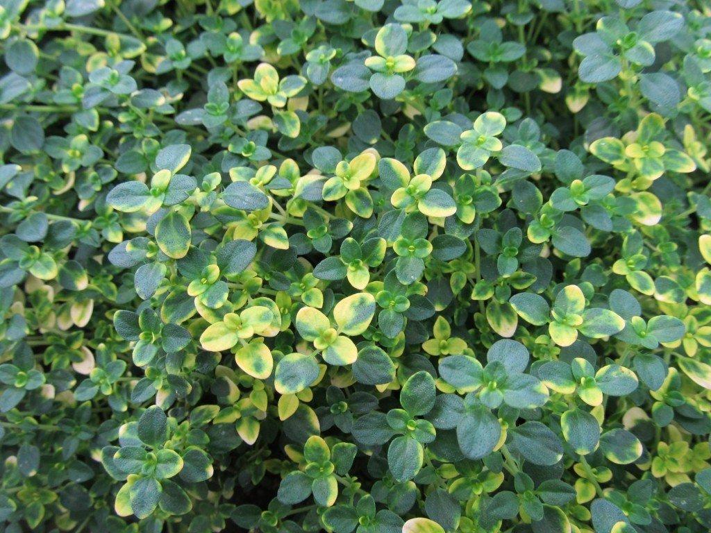 Thymus citriodorus 'Sambesi' (Mateřídouška citrónová)