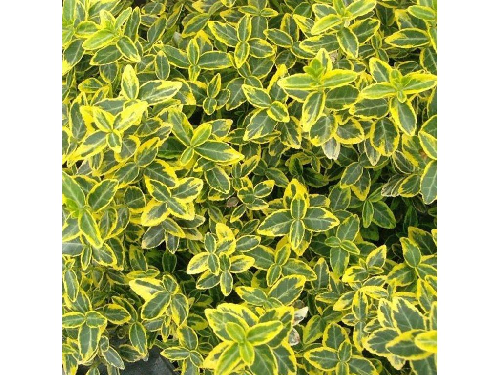 euonymus japonicus ovatus aureus p116 4297 zoom
