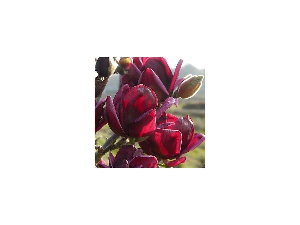 magnolie genie kvitne 2 x rocne 180 200 cm v kvetinaci magnolia genie 89dae184075e88a7@2x