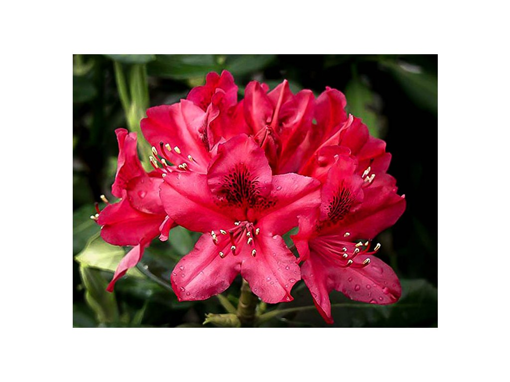 rhododendron nova zembla 3