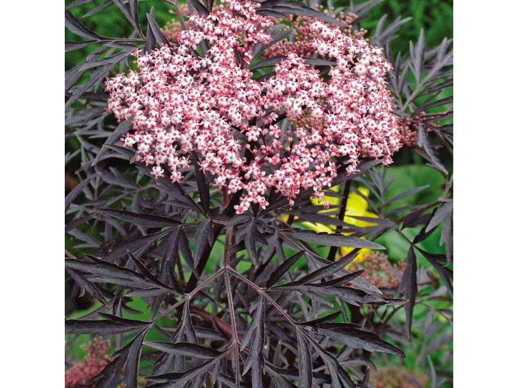 Sambucus nigra 'Black Beauty'® (Bez černý)