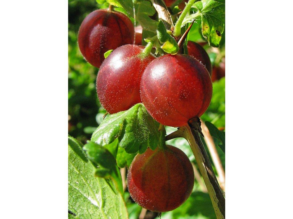 Stachelbeere (Ribes uva crispa)