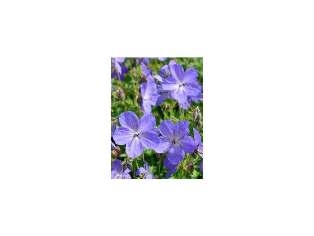 mpp geranium johnsons blue6