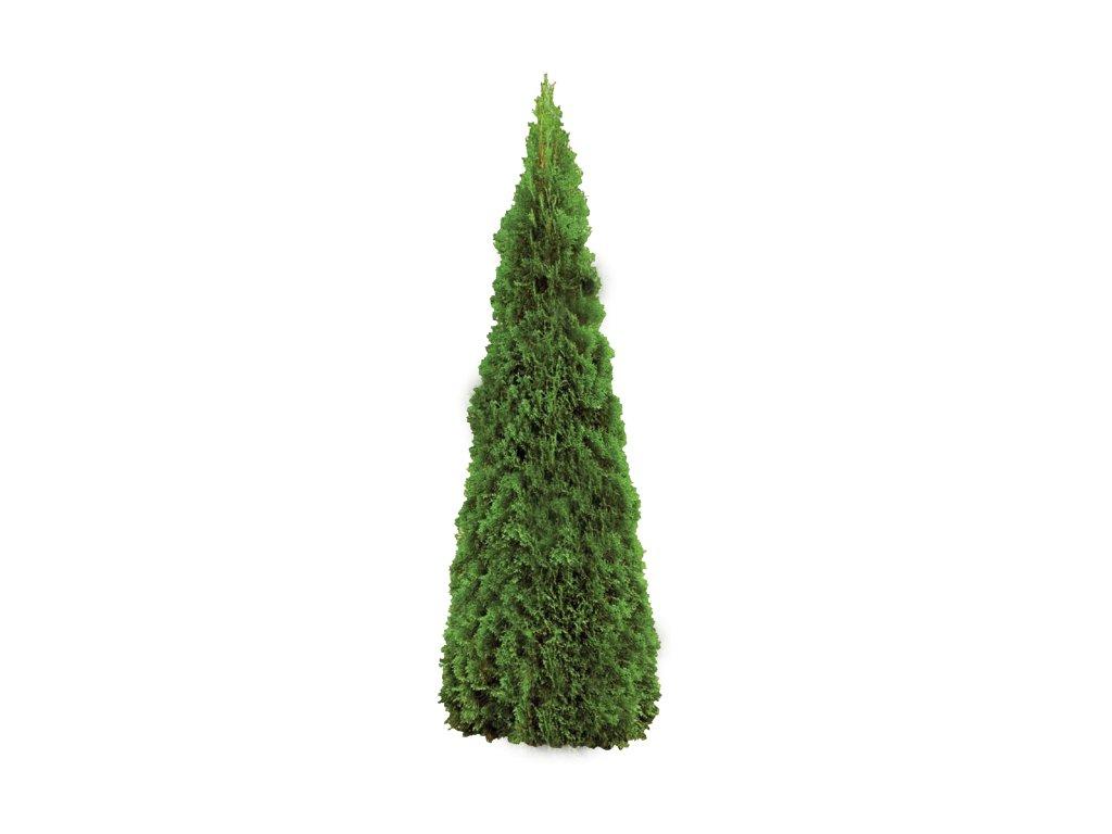 418 4184335 thuja occidentalis smaragd