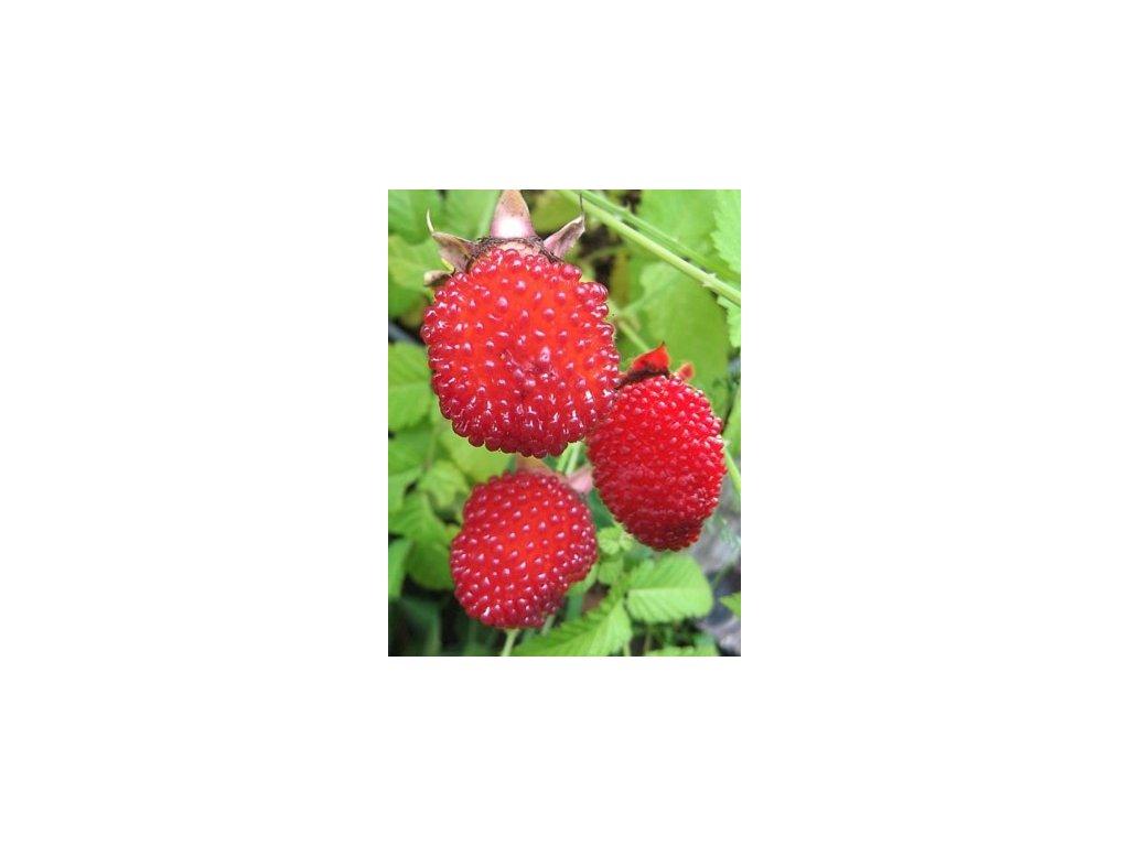 Rubus illecebrosus (Ostružiník jahodnatý)