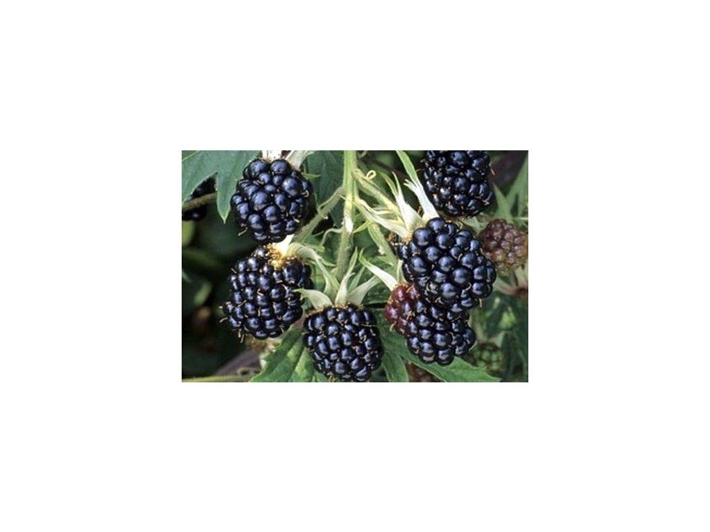 Rubus Dirksen