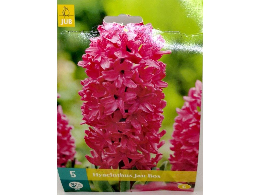 Hyacinthus Jan