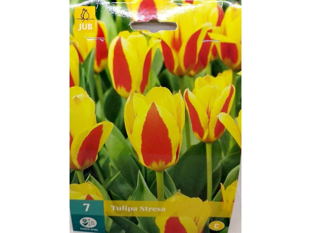 Tulipán Stresa