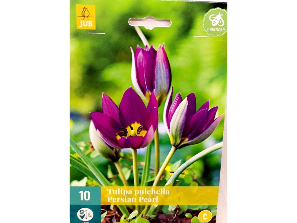 Tulipán Pulchjea