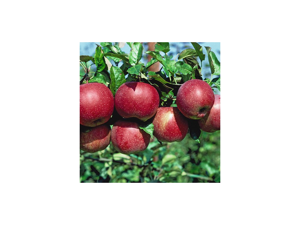 malus domestica spartan tree mm106 p3352 33962 zoom