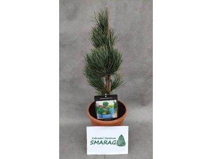 Pinus cembra 'Compacta Glauca'
