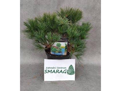 Pinus strobus 'Ontario' (Borovice vejmutovka Ontario)